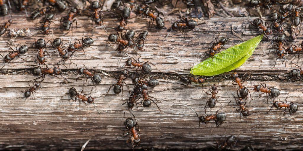 ants in Arkansas